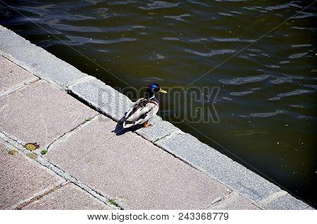 Duck Is The Representative Birds Of Several Genera Of The Family Duck: Shelduck, Sea Ducks (pochards
