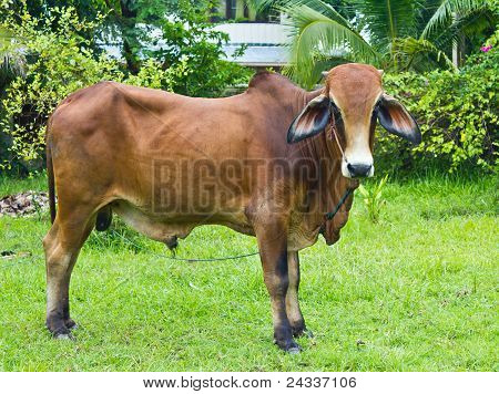 Brahman Cattle In The Yard