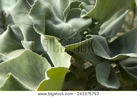The Pigs Ear, Cotyledon Orbiculata, Is A Succulent Plant Indigenous To South Africa
