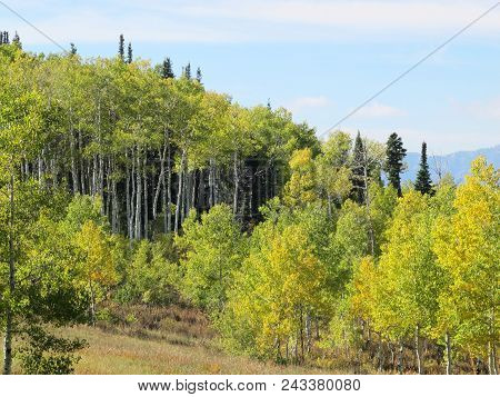 Quaking Aspen Trees Dabbled With Pine In The Late Summer Rocky Mountains