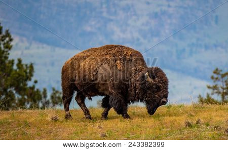 A Male Bison At The National Bison Range In Montana Moves Skillfully To The Next Patch Of Tasty Gras