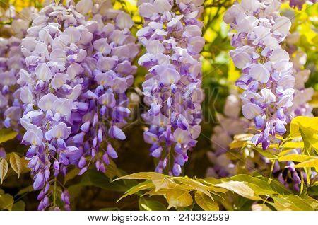 Morning Bloom: Close Up Of Wisteria Hanging On A Vine, Burgundy, France