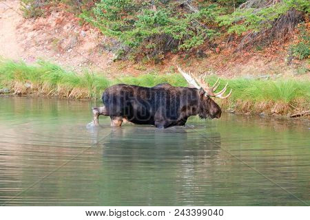 Adult Bull Moose In Fishercap Lake In The Many Glacier Region Of Glacier National Park In Montana Un