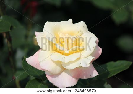 Rose Type Named Apricot Queen Elizabeth In Close-up Isolated From A Rosarium In Boskoop The Netherla