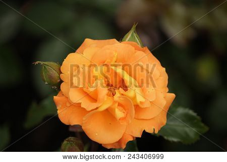 Rose Type Named Westzeit In Close-up Isolated From A Rosarium In Boskoop The Netherlands