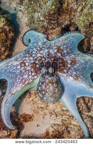 Caribbean Reef Octopus,octopus Briareus Is A Coral Reef Marine Animal.