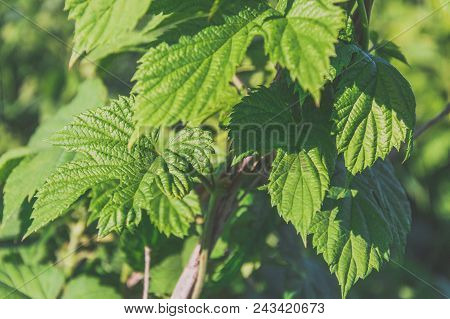 Close-up Toned Photography Of The Leaves Of The Humulus Lupulus Well Known As A Hop. Herb That Is Po