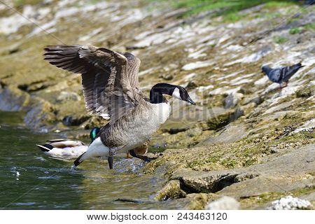 Canada goose on a lake in bavaria in summer