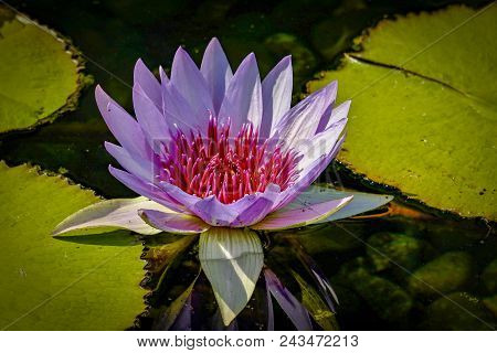 Beautiful Lavender And Pink Fuchsia Lotus Flower Surrounded By Lime Green Colored Lily Pads In A Pon