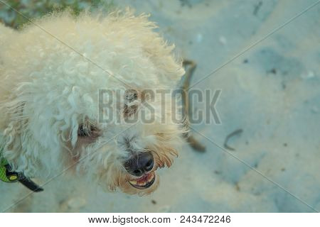 Cute White Furry Dog Looking Up From Sandy Ocean Beach At Sunset