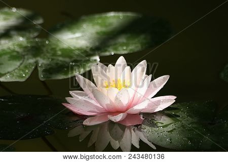Beautiful Water-lily In A Beam Of The Sun And Her Reflection In Water