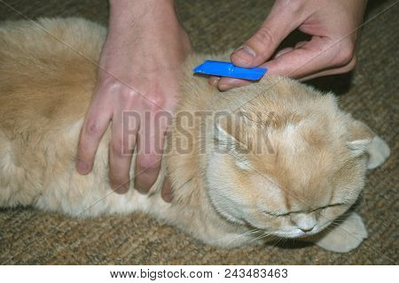 Flea Tick Drops In Blue Pack. The Owner Digs Adult Scottish Fold Cat Drops From Fleas.