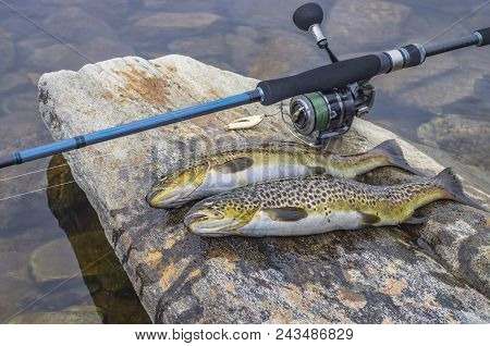 Fishing. Caught Brown Trout Fish And Spinning Tackle On River Stone
