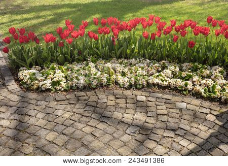 Paving Pattern, Along Paved Walkway Planted Flowerbed With Beautiful Red Tulips And White Flowers