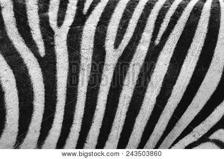 Zebra Skin, The Background Striped Stripes Are Black And The White Color On The Side Is An Animal Ze