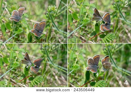 Mating Sequence Of Brown Argus (aricia Agestis) Butterflies. Rapid Series Of Shots Of Butterflies Co