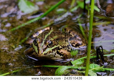 A Green Frog Also Known As The Common Water Frog Or Edible Frog In A Pond With Some Foliage