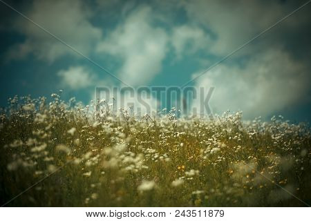 Blossoming Flower Field, Spring. Spring Chamomile Field, Natural Herbal Treatment. Alternative Medic