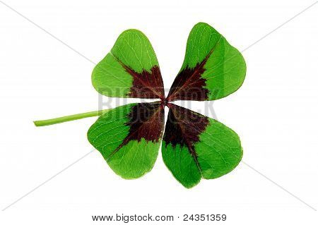 Clover isolated on white