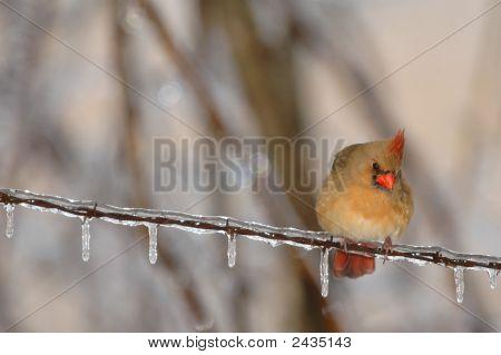 North Carolina State Bird