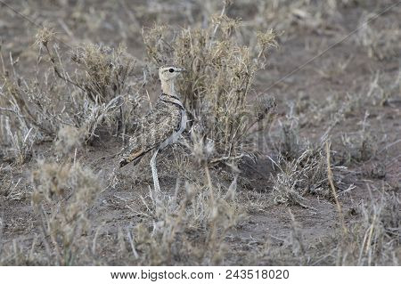 Two-banded Courser That Stand Among Dry Grass In The Evening Savannah