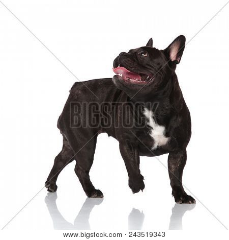 side view of adorable black panting french bulldog looking up and behind while walking to side on white background