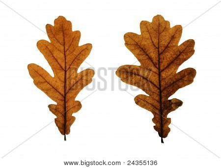 Two yellow leaves of pedunculate oak (Quercus robus) isolated on white poster