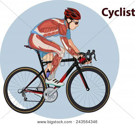 Vector Illustration Of Cyclist Muscle Anatomy Graphic