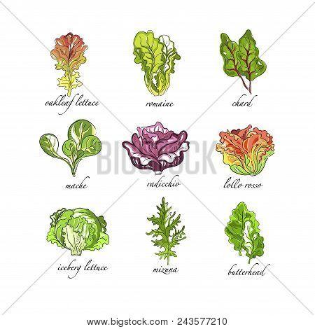 Fresh Herbs Set, Oak Leaf, Romaine, Chard, Mache, Radicchio, Lollo, Rosso, Iceberg Lettuce, Mizuna,