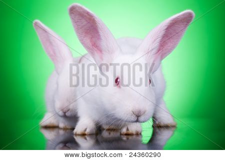 Aggresive Look Of Two Bunnies