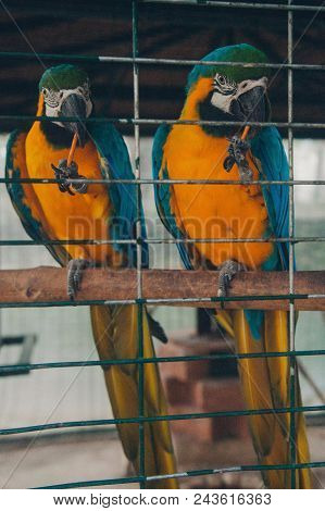 Two Macaws In A Cage. Big Birds Behind Bars. Close Up Of Two Parrots