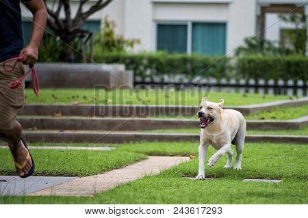 Aggressive Rabies Labrador Dog Bite Man