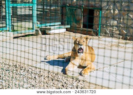 Lion In Zoo Cage. Life In Custody