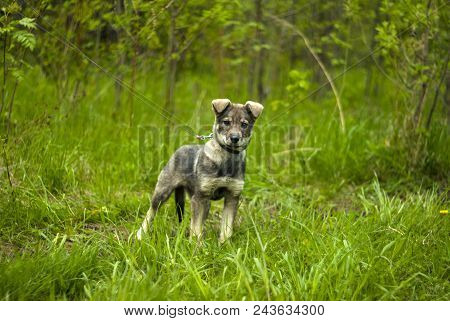 Cool Gray Puppy Mongrel With Hanging Ears With Interesting Looks In A Frame On A Natural Green Backg