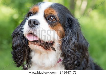 Purebred Cavalier King Charles Spaniel Dog Outdoors In Nature On Sunny Day