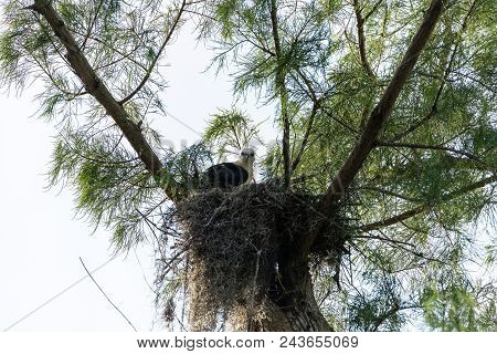 Fuzzy head of a swallow-tailed kite Elanoides forficatus juvenile in a nest in Naples, Florida poster