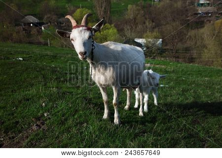 Goat and kid on a green field