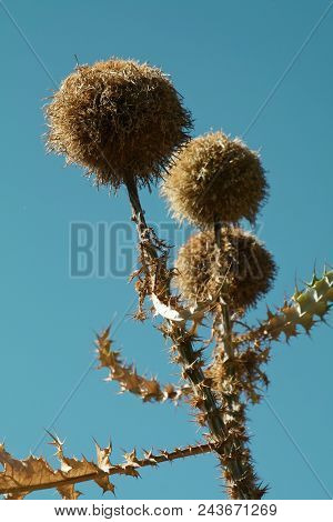 Large Spiky Flower Heads Against A Blue Sky