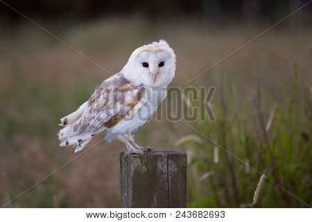 White barn owl sitting on a fence post in evening light