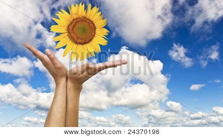 Women's hands with a sunflower