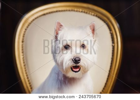 Cute West Terrier Dog Resting On A Leather Chair. Advertising Grooming And Caring For Dogs. West Hig