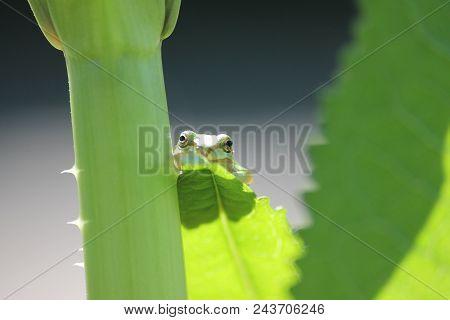 Pacific Tree Frog (western Chorus Frog) Sitting On A Leaf.