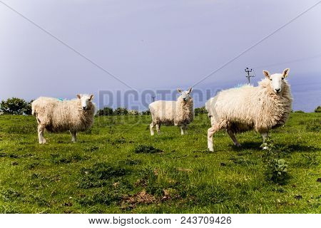Three White Sheeps Standing In A Meadow Mountain Hill. View Of Sheeps In The Countryside. Green Fiel