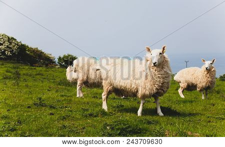 Flock Of Sheep Kept Biologically In A Meadow In The Countryside. Green Fields In The Mountains With