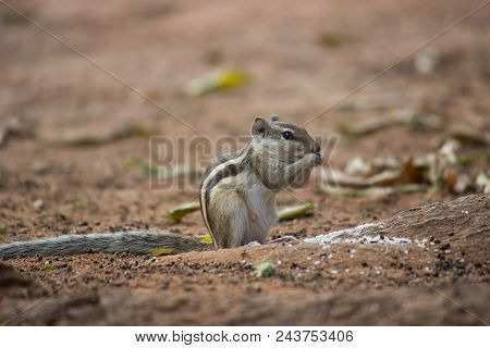 A Ground Squirrel Seen Eating Its Food From The Ground.