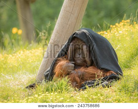 Adult Male Bornean Orangutan - Pongo Pygmaeus - Sitting Outdoors In Green Grass, Partly Hiding Under