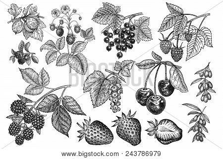 Berries Big Set. Realistic Strawberries, Cherries, Raspberries, Blackberries, Goji, Currants, Bluebe