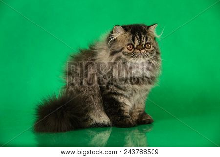 Cute Fluffy Persian Black Grey Tabby Cat On Green Studio Background.
