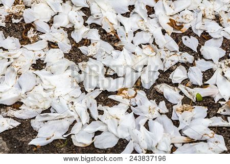 Petals Of White Apple Blossoms Fell Down From Apple-trees On The Trailway In A Park In Spring
