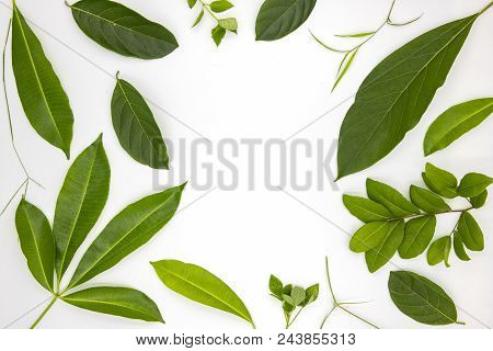 Green Summer Leaves On White Background. Green Leaf Top View Photo. Tropical Trees Foliage Frame Wit
